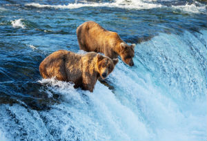 Brown Bears In Alaska